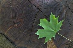 Hoja de arce verde fresca en la acción de madera Fotografía de archivo
