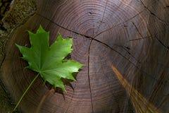 Hoja de arce verde fresca en la acción de madera con el rayo de sol Foto de archivo