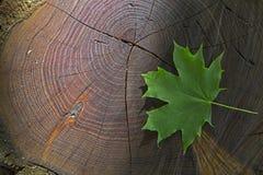 Hoja de arce verde fresca en la acción de madera con el rayo de sol Imágenes de archivo libres de regalías