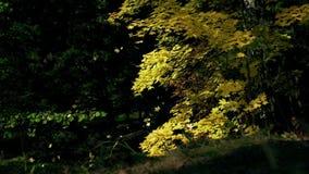 Hoja de arce vibrante que cae lentamente hacia la tierra en caída soleada Fondo colorido de las hojas del otoño Cámara lenta almacen de video