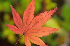 Hoja de Autumn Maple del japonés aislada contra fondo verde del jardín Fotos de archivo