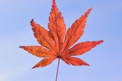 Hoja de Autumn Maple del japonés contra el cielo azul claro Fotos de archivo libres de regalías