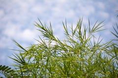Hoja de bambú Fotografía de archivo libre de regalías
