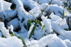 Hoja de bambú congelada de la rama cubierta con cierre de la nieve encima de la visión Imagenes de archivo