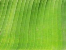 Hoja de Banan Imagenes de archivo