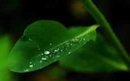 Hoja de Grean con los waterdrops Imagenes de archivo