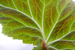 Hoja de la begonia Imagenes de archivo