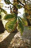 Hoja de la castaña de caballo de la caída del otoño delante de las hojas de otoño marrones Foto de archivo libre de regalías