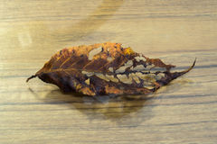 Hoja de la cereza Foto de archivo libre de regalías