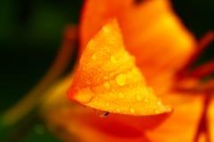 Hoja de la flor anaranjada del lirio con gotas de agua en él Fotografía de archivo libre de regalías