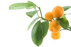 Hoja de la fruta cítrica Imagen de archivo libre de regalías