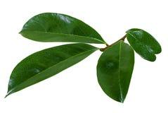 Hoja de la guanábana aislada en blanco fotos de archivo