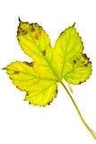 Hoja de la hiedra del otoño aislada en el fondo blanco Imagenes de archivo