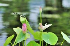 Hoja de la libélula y del loto fotografía de archivo