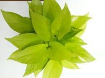 Hoja de la luz verde Imagen de archivo