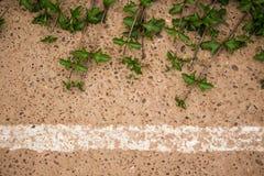 Hoja de la margarita de Singapur que sube en el piso del cemento Imagen de archivo libre de regalías