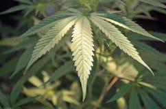 Hoja de la marijuana - detalle Fotografía de archivo