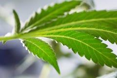 Hoja de la marijuana durante cosecha Imagen de archivo