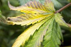 Hoja de la marijuana durante cosecha Fotografía de archivo