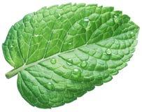 Hoja de la menta verde u hoja de la menta con descensos del agua en el fondo blanco foto de archivo libre de regalías