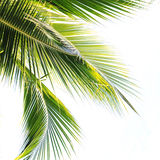 Hoja de la palmera Fotografía de archivo