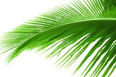 Hoja de la palmera aislada imagen de archivo libre de regalías