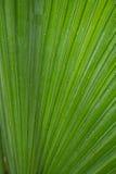 Hoja de la palmera de Cclose-up Fotos de archivo