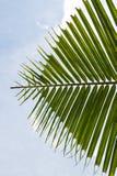 Hoja de la palmera del coco Fotos de archivo libres de regalías