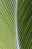 Hoja de la palmera del coco Imagen de archivo