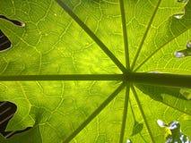 Hoja de la papaya imagen de archivo libre de regalías