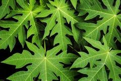 Hoja de la papaya Fotografía de archivo libre de regalías