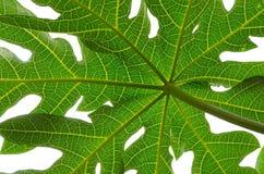 Hoja de la papaya aislada Imagen de archivo