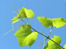 Hoja de la planta de la uva imagen de archivo libre de regalías