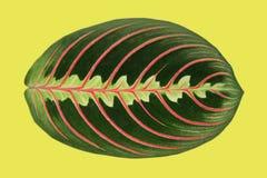 La hoja de la planta de Maranta tiene gusto de la espina de pez fotografía de archivo libre de regalías