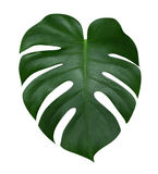 Hoja de la planta de Monstera, la vid imperecedera tropical aislada en el fondo blanco, trayectoria Fotos de archivo libres de regalías