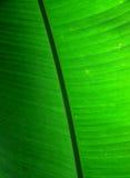 Hoja de la planta de plátano Imagen de archivo libre de regalías