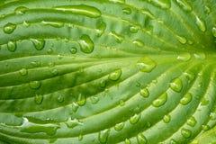Hoja de la planta del Hosta con la gotita de agua Fotos de archivo libres de regalías