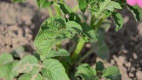 Hoja de la planta del insecto de patata almacen de video