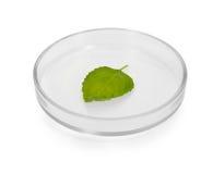 Hoja de la planta en placa de Petri Imagenes de archivo