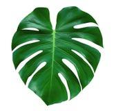 Hoja de la planta de Monstera, la vid imperecedera tropical aislada en el fondo blanco, trayectoria fotografía de archivo libre de regalías