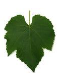 Hoja de la uva Imagen de archivo libre de regalías