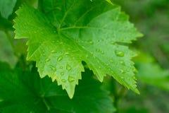 Hoja de la uva con los waterdropps imágenes de archivo libres de regalías