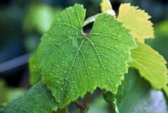 Hoja de la uva con rocío Imagenes de archivo