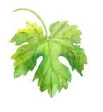 Hoja de la uva de la vid watercolor