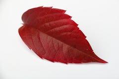 Hoja de la uva del otoño Fotos de archivo