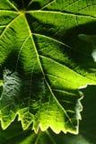 Hoja de la uva, foto macra Foto de archivo