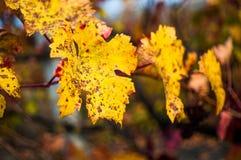 Hoja de la uva roja con el fondo Fotografía de archivo libre de regalías
