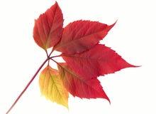 Hoja de la vid del otoño Foto de archivo