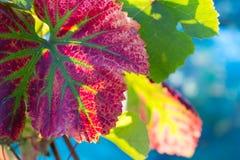 Hoja de la vid en colores del otoño Imagen de archivo libre de regalías