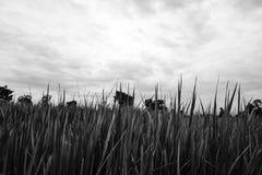 Hoja de las plantas de arroz foto de archivo